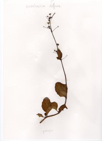 Patagon (Boerhavia erecta)