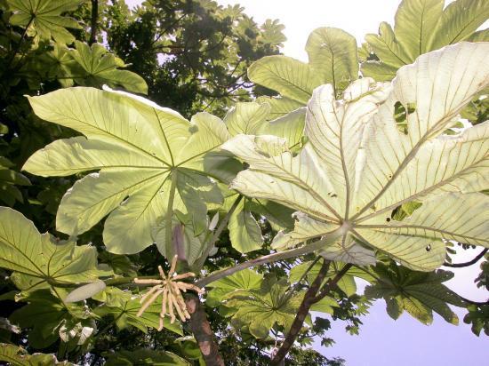 bois canon (Cecropia shreberiana)