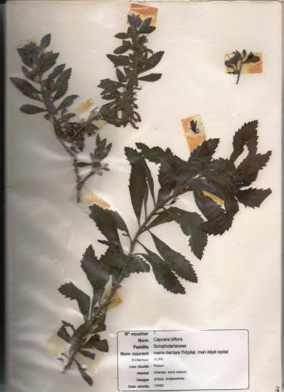 thé-pays (Capraria biflora)