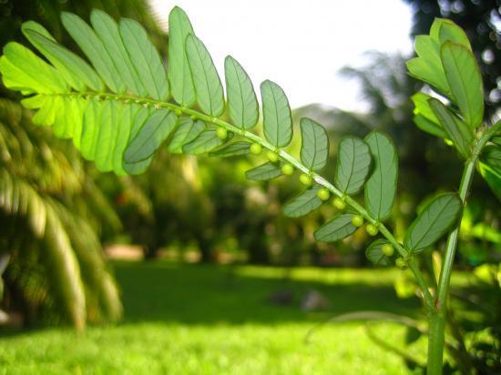 graine-en-bas-feuille (Phyllanthus amarus)