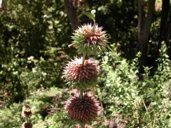 pompon-soldat (Leonotis nepetifolia)